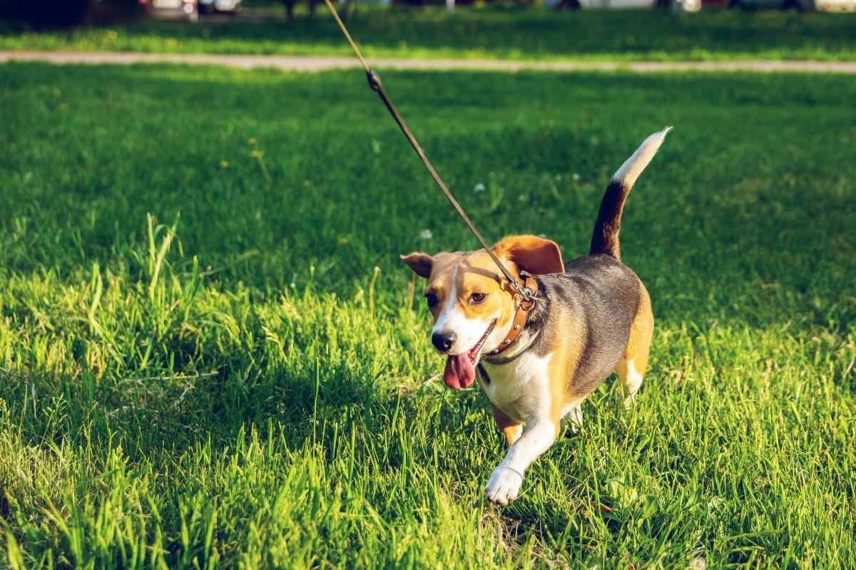 beagle walking while on leash