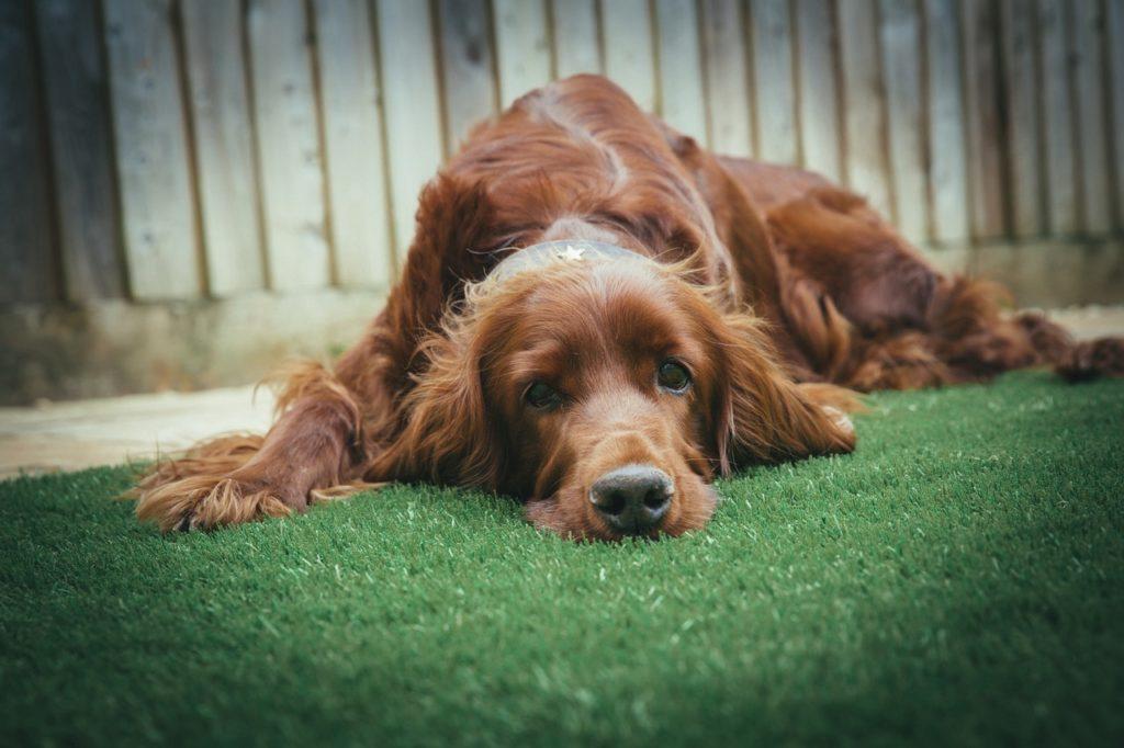 adult dog in yard