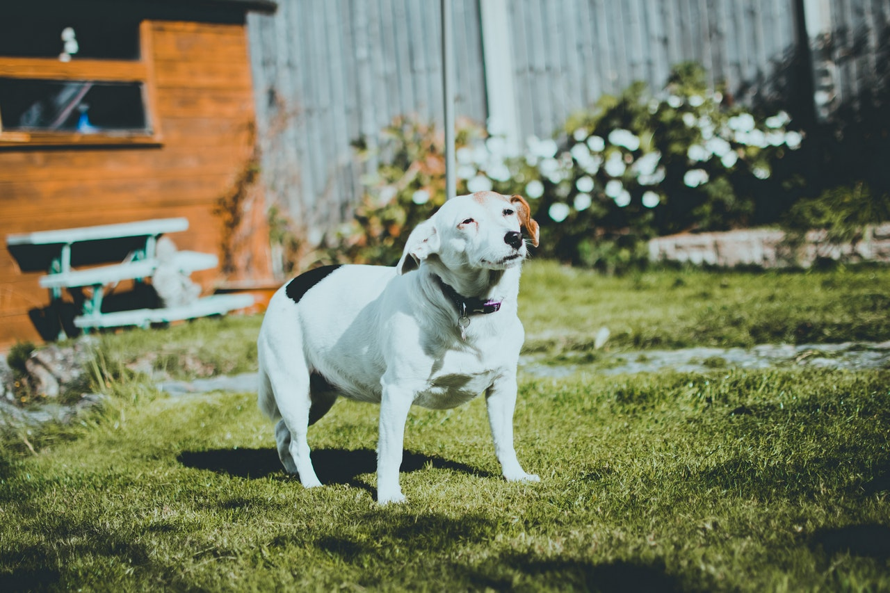pet in yard