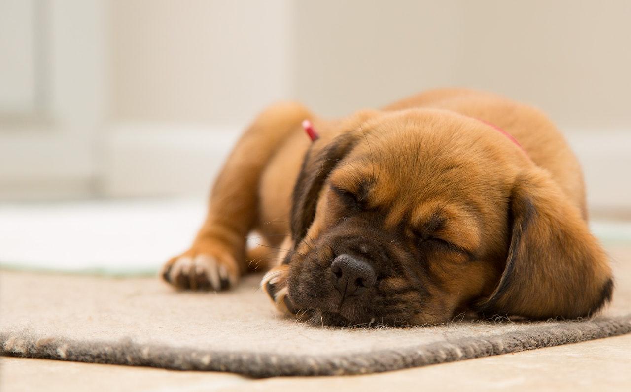 pet sleeping