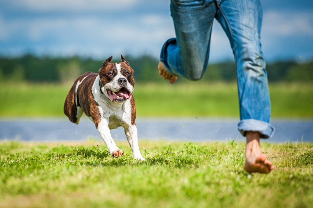 pitbull running with owner