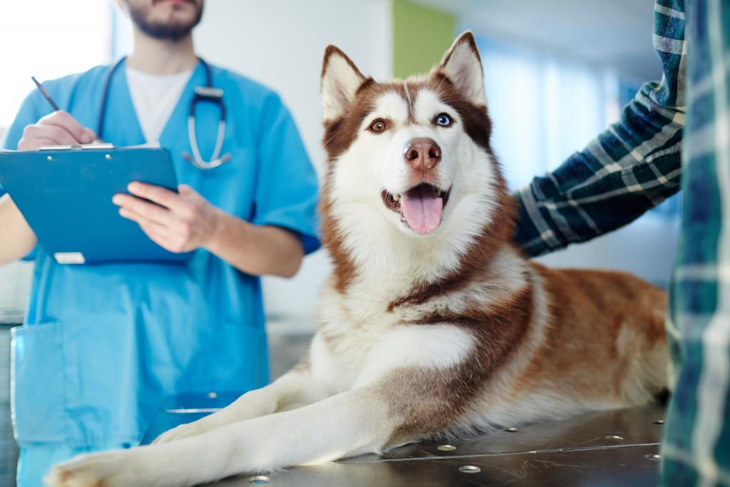 husky dog at the vet's