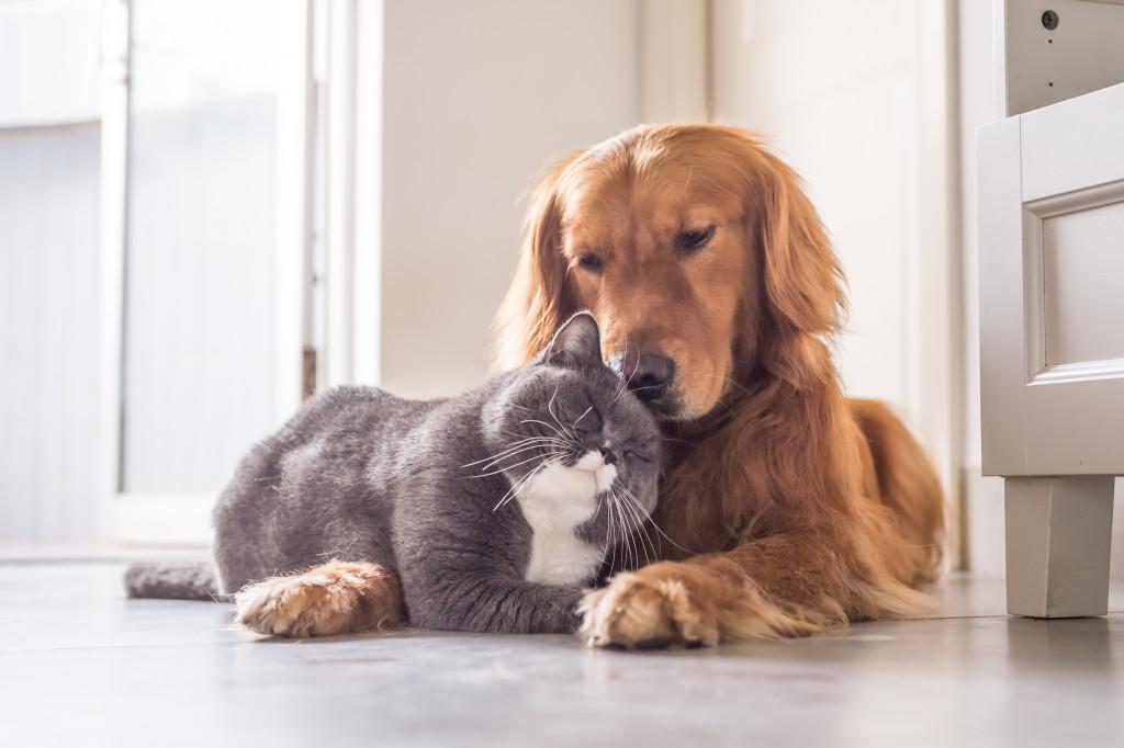 tabby cat and golden retriever